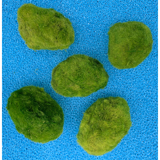 Mooskugel XL 6-9cm 5 Stück Moosball Aegagropila linnaei