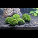 Mooskugel 3-4cm Moosball für das Aquarium 10 Stück