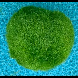 Mooskugel 3-4cm Moosball für das Aquarium 1 Stück