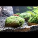 Mooskugel 3-4cm Moosball für das Aquarium 3 Stück